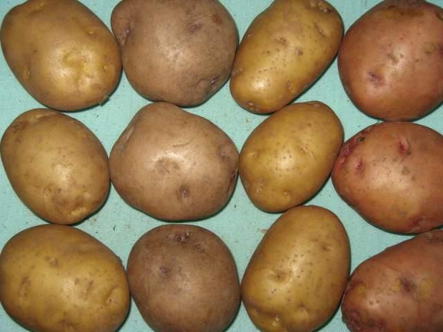 Объявления куплю картофель россия плиточник  цена частные объявления